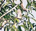 Tickels-FlowerPecker-InFlight.JPG