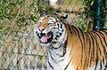 Tiger (15929072094).jpg