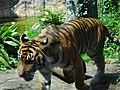 Tiger - Ueno Zoo - Tokyo - Japan (15678357627).jpg