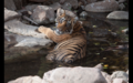 Tiger in Ranthambore 5.png