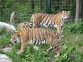 Tigre de Sibérie (Panthera tigris altaica) (3).jpg