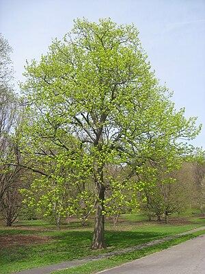 Tilia americana - Tilia americana