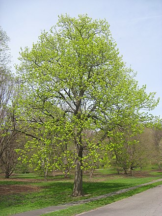 Tilia americana - A specimen in the Arnold Arboretum leafing out in spring