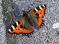 Tortoiseshell Butterfly, Omagh - geograph.org.uk - 933178.jpg
