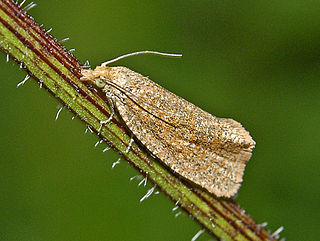 <i>Celypha rufana</i> Species of moth