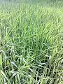 Touch grass - panoramio.jpg