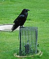 Tower of London Raven (7205402272).jpg