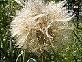 Tragopogon pratensis zaden1.jpg