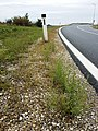 Tragus racemosus sl28.jpg