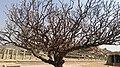 Tree - Hampi.jpg