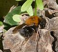 Tree Bumblebee. Bombus hypnorum - Flickr - gailhampshire (3).jpg
