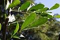 Trichilla havanensis CF9A3633 Siguaraya.jpg