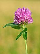 Trifolium pratense - Keila2.jpg