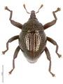 Trigonopterus disruptus holotype - ZooKeys-467-026.tif