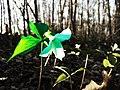 Trillium Plant (14133078796).jpg