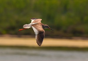 Common redshank - Bird (non-breeding) in flight (Laguna di Venezia, Italy)