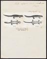 Triton alpestris - 1700-1880 - Print - Iconographia Zoologica - Special Collections University of Amsterdam - UBA01 IZ11400131.tif