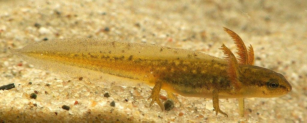 Mlok bodkovaný (lat. Lissotriton vulgaris) - larva