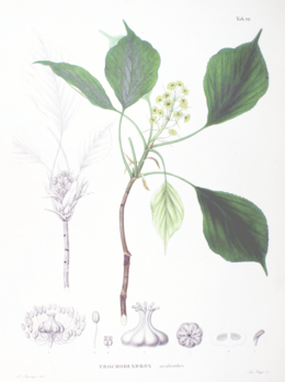 Trochodendron aralioides SZ39