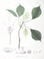 Trochodendron aralioides SZ39.png
