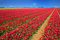 Tulip Field Tulips Red Holland Nature Flowers.jpg