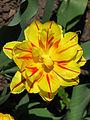 Tulip double cv.02.JPG