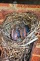 Turdus merula -England -chicks in nest-8 (1).jpg
