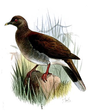 Malagasy turtle dove - Nesoenas picturatus aldabrana
