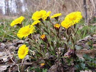 Podbeľ liečivý - kvety