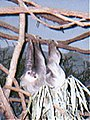 Two-Toed Tree Sloth (Choloepus sp.) at the Philadelphia Zoo.jpg