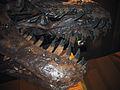 Tyrannosaurus (jaws).jpg