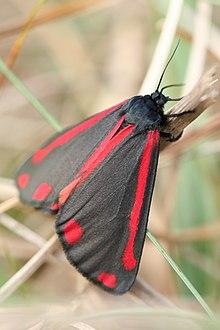 Colorazione aposematica di Tyria jacobaeae (Erebidae)