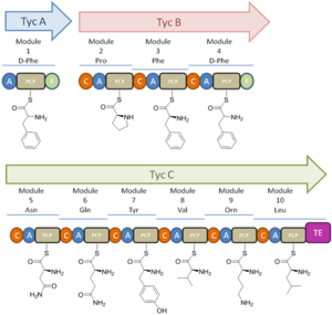 Tyrocidine - Figure 3: Modules and Domains for Tyrocidine biosynthesis