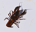 UMFS crayfish 2015 1.JPG