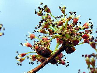 Brest väzový - kvety