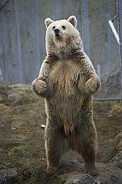 Ursus arctos - Norway.jpg
