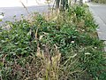 Végétalisation naturelle quai Saint-Bernard.jpg