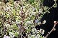 Vaccinium corymbosum Northland 0zz.jpg