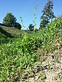 Verbascum blattaria sl11.jpg