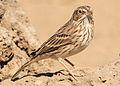 Vesper sparrow wray (8271884321).jpg