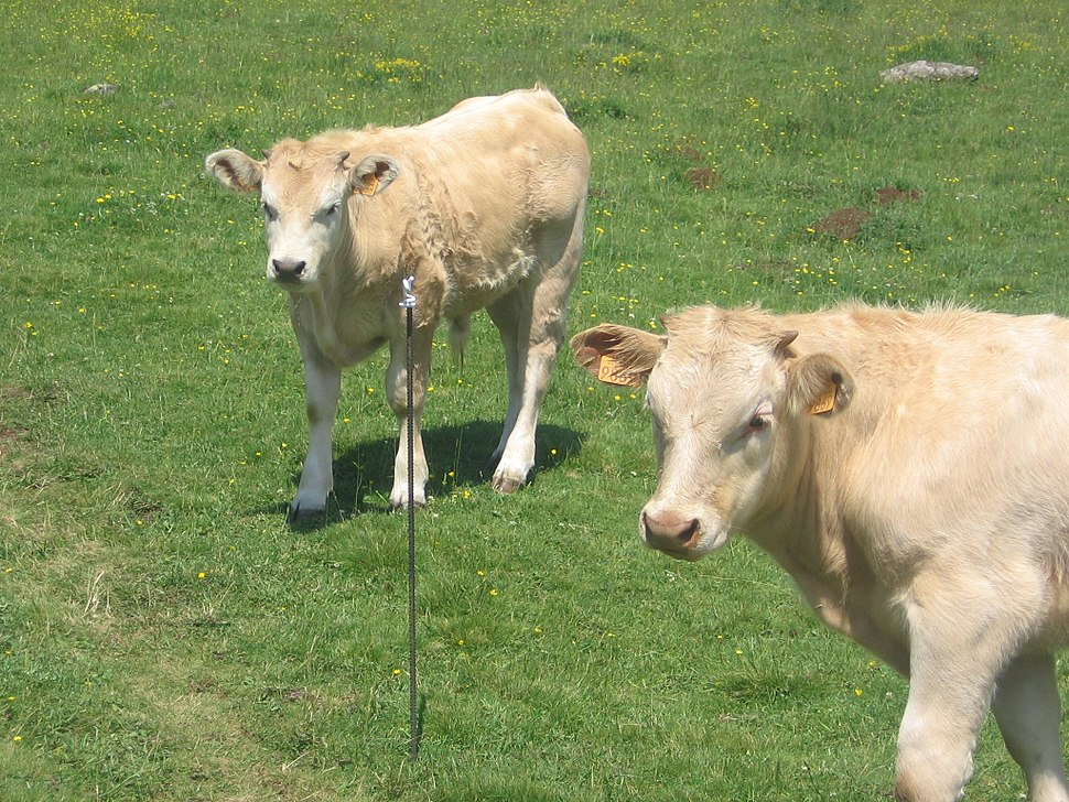 Via Podiensis, Aubrac, white calfs