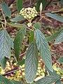 Viburnum rhytidophyllum Kalina sztywnolistna 2016-05-02 01.jpg