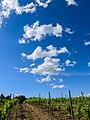 Vineyards at Aghione Fields (35254759600).jpg