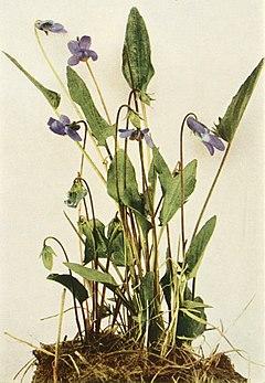 Viola sagittata var. sagittata WFNY-137B.jpg
