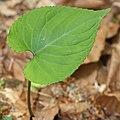 Viola vaginata (leaf s5).jpg