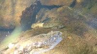 File:Viperine snake (Natrix maura) in Spain.webm