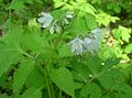 Virginia Waterleaf, Shawnee Salad (Hydrophyllum virginianum) - Flickr - Jay Sturner (1).jpg