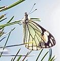 WHITE, PINE (Neophasia menapia) (8-10-13) male, e of springerville, az (9595907030).jpg