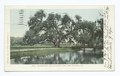 Washington Oak, Audubon Park, New Orleans, La (NYPL b12647398-62254).tiff