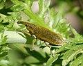 Weevil. Curculionidae. - Flickr - gailhampshire (1).jpg